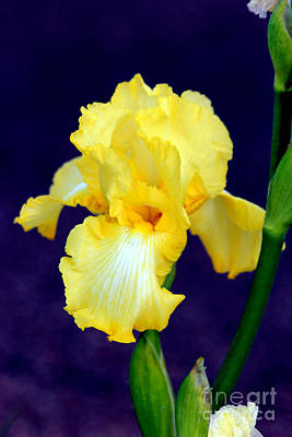Yellow Bearded Iris Art Print by Kathy  White