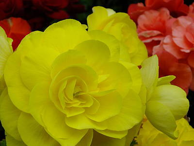 Photograph - Yellow Begonia by Gene Cyr