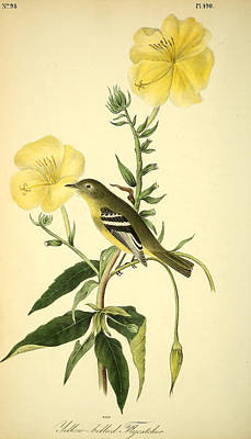 Flycatcher Drawing - Yellow-bellied Flycatcher by Philip Ralley