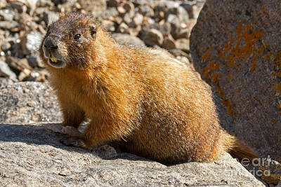 Photograph - Yellow Bellied Marmot Barking In Rocky Mountain National Park by Fred Stearns