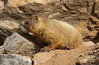 Photograph - Yellow Bellied Marmot Checking Out The Neighborhood In Rocky Mountain National Park by Fred Stearns