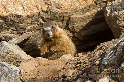 Photograph - Yellow Bellied Marmot Checking Out The Visitors In Rocky Mountain National Park by Fred Stearns