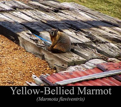 Digital Art - Yellow Bellied Marmot by Chris Flees