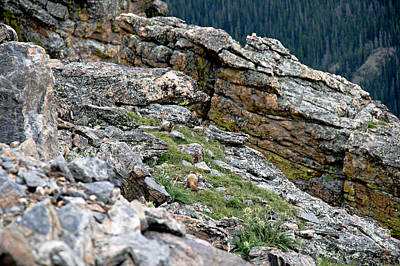 Rocly Photograph - Yellow Bellied Marmot In The Rockies by Cecelia Helwig