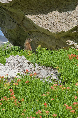 Teton Wall Art - Photograph - Yellow-bellied Marmot (marmota by Howie Garber