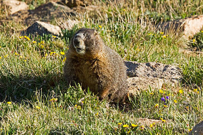Keith Richards - Yellow Bellied Marmot on Alert in Rocky Mountain National Park by Fred Stearns