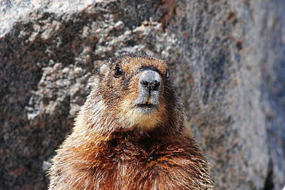 Photograph - Yellow Bellied Marmot by Robert  Moss