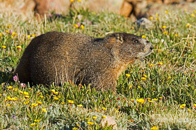 Photograph - Yellow Bellied Marmot Sounding The Alert In Rocky Mountain National Park by Fred Stearns