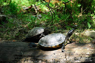 Photograph - Yellow Bellied Sliders 20120515_48 by Tina Hopkins