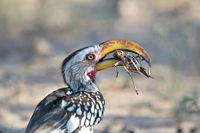 Hornbill Wall Art - Photograph - Yellow-billed Hornbill Eating A Cricket by Tony Camacho