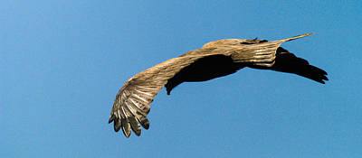 Photograph - Yellow Billed Kite 3 by Alistair Lyne