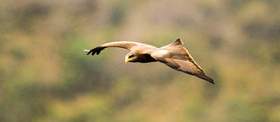 Photograph - Yellow Billed Kite 4 by Alistair Lyne