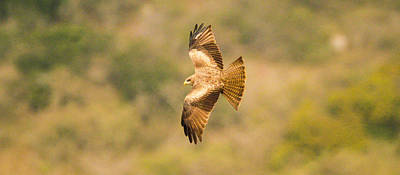 Photograph - Yellow Billed Kite 7 by Alistair Lyne