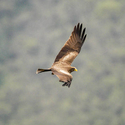 Photograph - Yellow Billed Kite 8 by Alistair Lyne