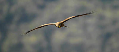 Photograph - Yellow Billed Kite by Alistair Lyne