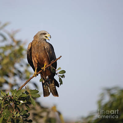 Photograph - Yellow-billed Kite  Milvus Aegyptius by Liz Leyden