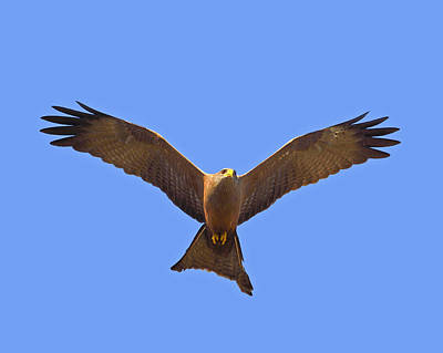 Photograph - Yellow-billed Kite by Tony Beck
