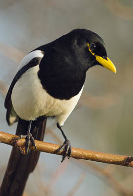 Yellow-billed Magpie Art Print