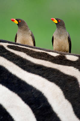 Yellow-billed Oxpeckers Buphagus Art Print by Panoramic Images