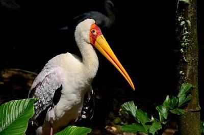 Photograph - Yellow Billed Stork Peers At Camera by Imran Ahmed