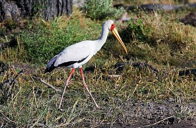 Stork Wall Art - Photograph - Yellow-billed Stork by Steve Allen/science Photo Library