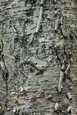 Photograph - Yellow Birch Bark by Suzanne Gaff