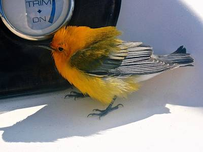 Photograph - Yellow Bird  by Kristina Deane