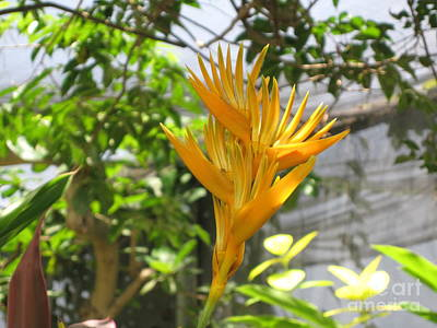 Photograph - Yellow Bird Of Paradise by HEVi FineArt