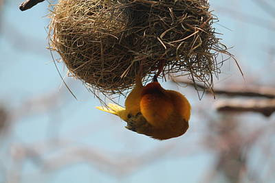 Yellow Bird Retuns To Nest Art Print