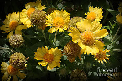 Photograph - Yellow Blanketflowers by E B Schmidt