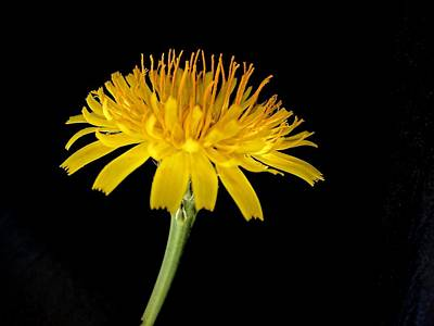 Photograph - Yellow Bloom by David Rich