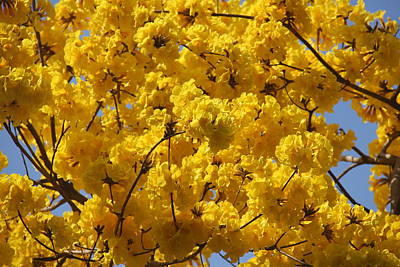 Photograph - Yellow Blossoms Of A Tabebuia Tree by Denise Mazzocco