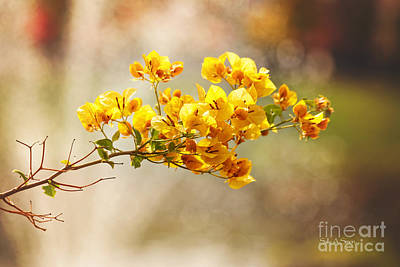 Photograph - Yellow Bougainvillea by Sally Simon