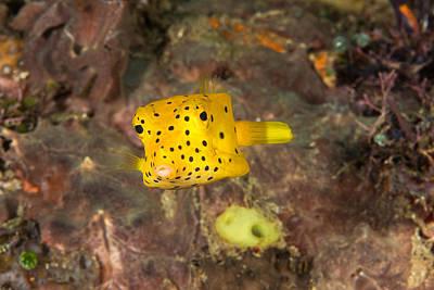 Trunkfish Wall Art - Photograph - Yellow Boxfish by Andrew J. Martinez