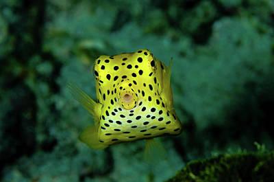 Trunkfish Wall Art - Photograph - Yellow Boxfish, Koh Racha Yai, Thailand by Morten Beier