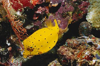 Trunkfish Wall Art - Photograph - Yellow Boxfish Ostracion Cubicus by FREDERICK R McCONNAUGHEY