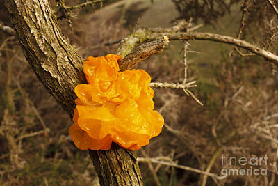 Yellow Brain Fungus Art Print by Richard Becker/FLPA