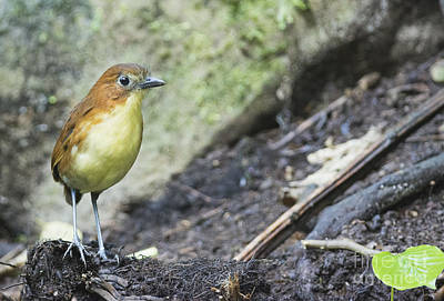 Photograph - Yellow-breasted Antpitta by Dan Suzio