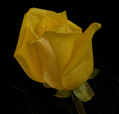 Yellow Bud Art Print by Nancy Edwards