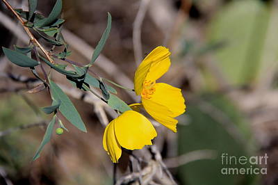 Photograph - Yellow Bush Poppy  by Suzanne Oesterling