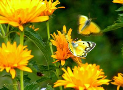 Photograph - Yellow Butterflies by George Tuffy
