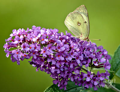 Photograph - Yellow Butterfly by Cheryl Baxter