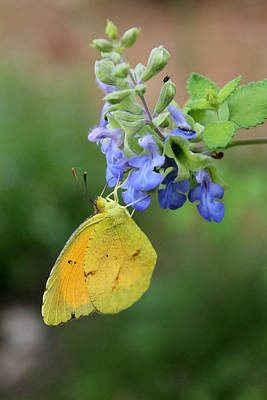 Yellow Butterfly On Blue Sage Art Print