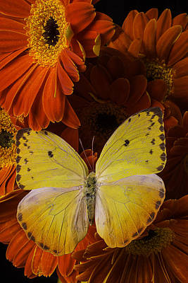 Yellow Butterfly On Orange Daisies  Art Print