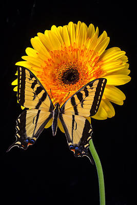 Gerbera Photograph - Yellow Butterfly On Yellow Mum by Garry Gay