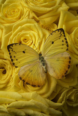 Yellow Butterfly On Yellow Roses Art Print