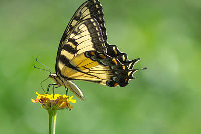 Photograph - Yellow Butterfly by Shannon Harrington
