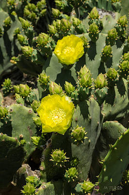Photograph - Yellow Cactus Blossoms by Michael Flood