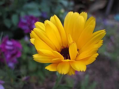 Photograph - Yellow Calendula by MTBobbins Photography