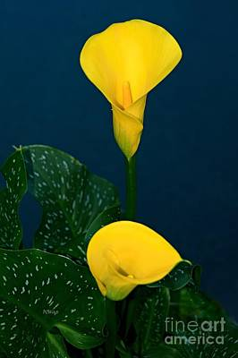 Photograph - Yellow Calla Lily by Patrick Witz